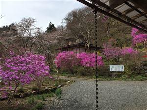 ミツバツツジと桜1 横_R.JPG