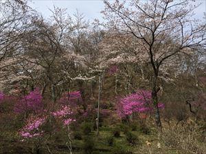 ミツバツツジと桜2 横_R.JPG