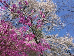 桜とつつじ1_R.JPG