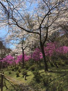 桜とつつじ2 たて_R.JPG