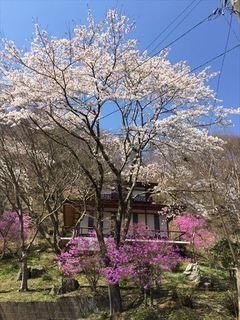 桜とつつじ3 たて_R.JPG