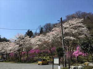 桜とつつじ4_R.JPG